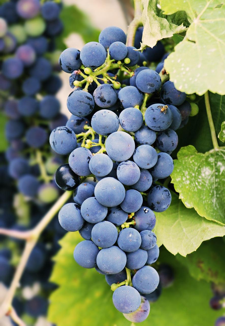 grapes-3623694_1280